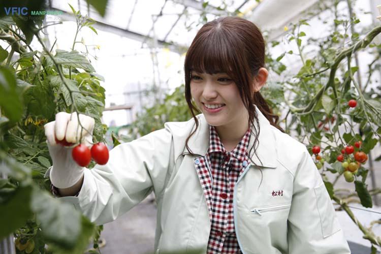 Đơn hàng trồng cà chua xuất khẩu lao động Nhật Bản