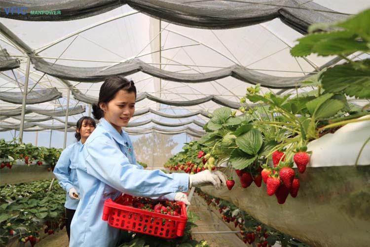 Đơn hàng trồng dâu tay xuất khẩu lao động Nhật Bản